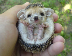 Here he is again... The Cute Smile (BlueLunarRose) Tags: cute smile explore hedge hedgehog cutesmile hedg oct282008247