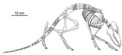 indohyus skeleton scale