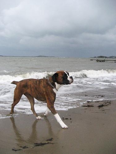 Tiger på stranden