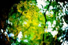 tints (moaan) Tags: life leica color leaves sign 50mm fuji dof bokeh f10 momiji japanesemaple velvia swirl noctilux 2008 hue tinge leicam7 autumnalleaves m7 rvp fujivelvia explored autumnaltints symptom fujirvp inlife tintedautumnalleaves leicanoctilux50mmf10 bokehwhores tingedwithyellow swirlofleaves gettyimagesjapanq1 gettyimagesjapanq2
