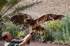 Fuerteventura (ariannacascinelli) Tags: world animal wonderful island planet animale spagna isola aquila volatile canarie ngi naturalmente