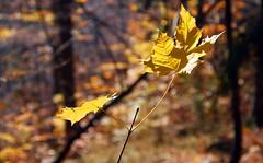 Gold (maciej.ka) Tags: autumn fall colors automne herbst poland polish pole hills polen autunno gry polonia maciej maciek gory otono pologne jesie  balan kolory  polsko  puola poloni miedzygorze kielan  polnia poljska  polandia   jesieni        maciejka polandphotography bellautunno emkej maciekk