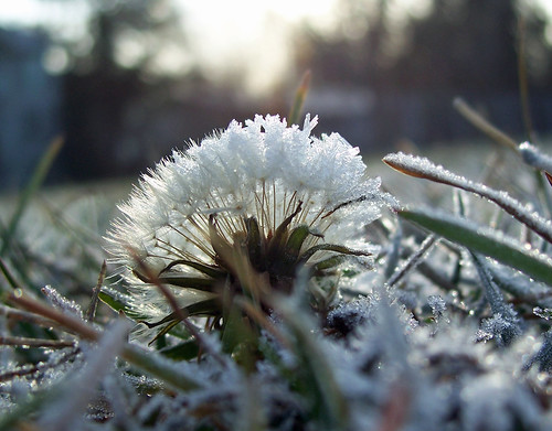 Frosty dandelion (in the light)