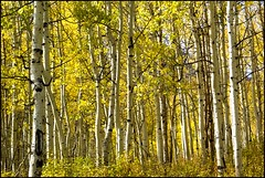 Aspen trees (utahmike07) Tags: autumn trees fall leaves yellow utah aspen alpineloop quaking quakies