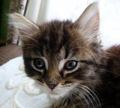 i'm cute too! (threed) Tags: november cute kitten gorgeous saturday kitteh kitties 2008 mumsplace qte
