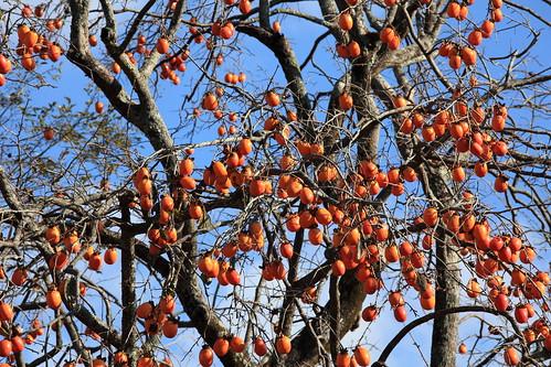 Japanese persimmon / Diospyros kaki / 柿(かき)