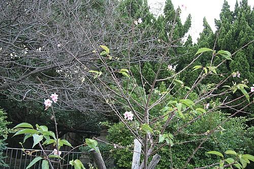 20081130Blossom2