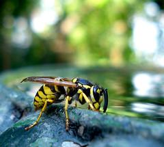 Avispa deshidratada (Errlucho) Tags: chile santiago insectos macro colores avispa errlucho