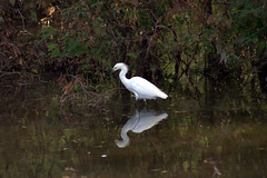 White Egret (David.Keith) Tags: canonrebelxt egret bayoujacob