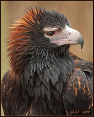 Wedge-Tailed Eagle (GLC1163) Tags: nature birds canon wings eagle stlouis feathers raptor sanctuary wedgetailedeagle worldbirdsanctuary anawesomeshot sparky1163