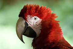 Peru, Tambopata (richard.mcmanus.) Tags: peru jungle macaw mcmanus birdwatcher tambopata amazonrainforest birdspool natureall impressedbeauty peruvianimages vosplusbellesphotos thewonderfulworldofbirds naturescreations worldnatureclose