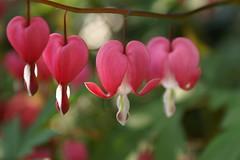 hearts of spring (deborah's perspective) Tags: pink spring lente dicentra roze gebroken hartjes