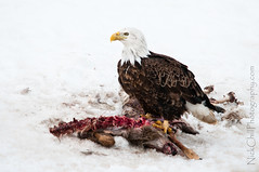 Scavenging Bald Eagle (Nick Chill Photography) Tags: winter snow bird nature animal fauna mammal photography nikon feeding wildlife fineart baldeagle iowa explore american raptor carrion haliaeetusleucocephalus animalia avian birdofprey whitetaileddeer odocoileusvirginianus scavenge stockimage avianexcellence d300s sigma150500mm nickchill whitetailruminant