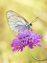 Aporia crataegi (maxjok) Tags: macro canon butterfly insect eos butterflies farfalla insetti farfalle aporia crataegi 50d colorphotoaward dblringexcellence tplringexcellence