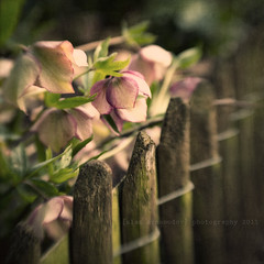Flowery Fence (s a s h i) Tags: flowers london leaves lensbaby fence spring textures hollandpark magicunicornverybest sbfmasterpiece alexarnaoudov sbfgrandmaster