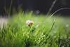 good morning sunday (In Memory Lane~) Tags: summer nature grass 35mm dof bokeh mark ii 5d 35l