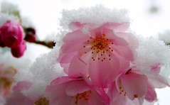 23 Mar 2008 (DaisyCat77) Tags: pink winter white snow flower closeup easter cherry spring blossom cherryblossom sakura unusual delicate fragile unexpected incongruous prunus unseasonal unlikely