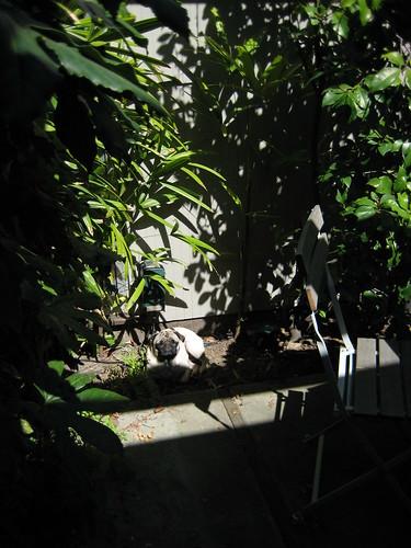 Pug in the jungle