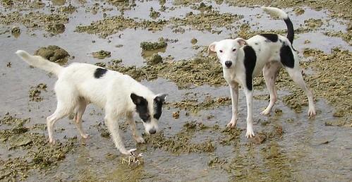 Crabe contre chiens