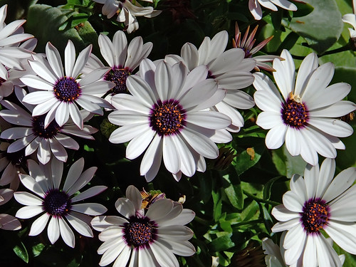 "Missouri Botanical (""Shaw's"") Garden, in Saint Louis, Missouri, USA - African daisy"