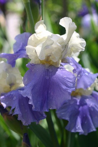 More irises after the rain