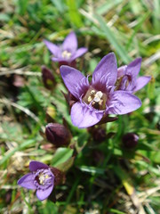 Early English Gentians