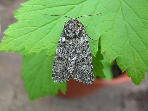 Acronicta rumicis - Photo: Burnley E.Lancs, Creative Commons license