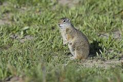 Unita Ground Squirrel at Schwabachers Landing (txcraig75) Tags: wyoming groundsquirrel grandtetonnationalpark gtnp tetoncounty schwabacherslanding canon100400mm rebelxti unitagroundsquirrel