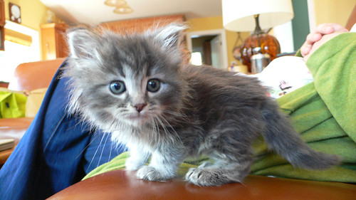 cute gray kitten cat pic