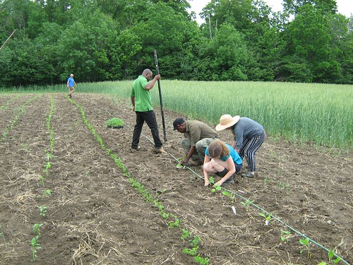 Planting at McVean