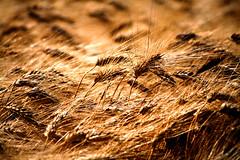 Fields of gold #2 (biosamu) Tags: yellow grain campo fields toscana oro grano spighe aplusphoto