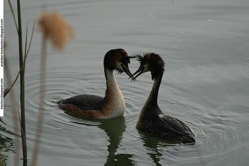 Love Dance of Podiceps Cristatus