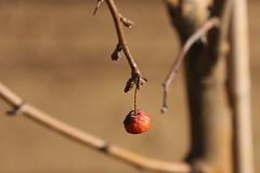 Crab apple (kasia-aus) Tags: autumn plant tree apple nature crab australia canberra simple act