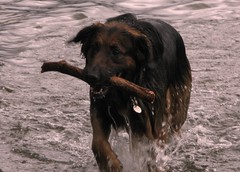 05 (Su--May) Tags: uk england dog wet water play lakedistrict cumbria catch stick playful keswick sporty active friarscrag castleriggstonecircle sumay june2008 derwentwaterfriarscrack