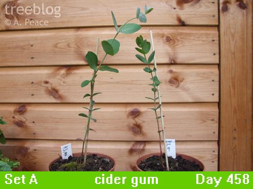 cider gums Nos. 8 and 9
