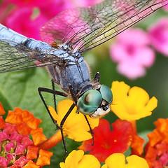 Dragonflyopolis (jhhwild) Tags: bug insect fly dragonfly soe naturesfinest anawesomeshot colorphotoaward photoskillz dragonflyopolis