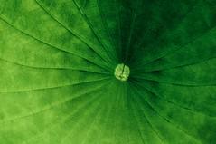 The Center Of My Universe (taylorkoa22) Tags: flowers newmexico flower green floral nikon pattern lotus wave petal nm universe d300 losranchos lospoblanos lavenderfestival lospoblanosinn marcgutierrez