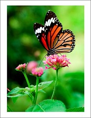 pretty little things (linh.ngan) Tags: flower macro nature wow butterfly insect sunday thoha ultimateshot fantasticinsect vietbestphoto