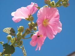 Rosa nel blu (alfiererosso) Tags: pink flower nature flor rosa natura bloom bud fiore azzurro lightblue turchese himmelblau bocciolo turkis rosafarben blaum turquese