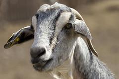 Cabra (ramon_perez_terrassa) Tags: espaa spain fuerteventura goat canoneos350d cabra canaryisland