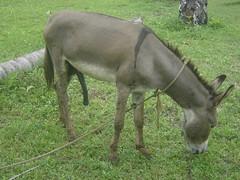 Burro parolo - Donkey (CAUT) Tags: donkey burro