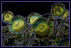 Moonflowers (scrapping61) Tags: california psp explore sunflowers gilroy 2008 glowingedges theunforgettablepictures proudshopper scrapping61 awardtree daarklands