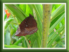 Elymnias hypermnestra agina (Common Palmfly) on Manila Palm, in our garden, Malaysia