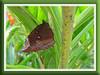 Common Palmfly (Elymnias hypermnestra agina)