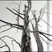 |Ancient Tree|