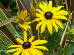 Yellow Cone Flowers (Canveyfornia) Tags: flower cone rudbeckia