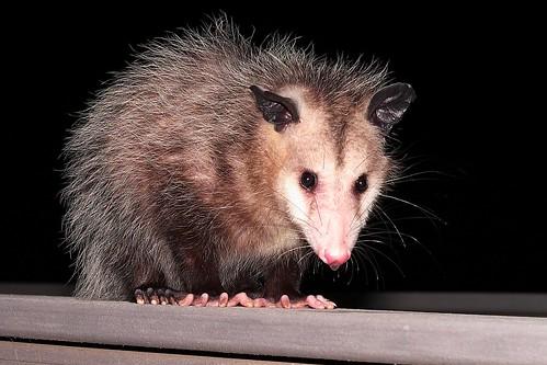 Snake-eating opossums have evolved venom-resistant blood