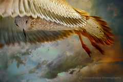 Spread Your Wings (fesign) Tags: sky toronto canada bird art clouds fly bravo seagull gull specanimal golddragon aplusphoto visiongroup gwain rubyphotographer damniwishidtakenthat magicdonkeysbest atqueartificia vision100 lesamisdupetitprince bestof2008spottrhu magicunicornverybest magicunicornmasterpiece