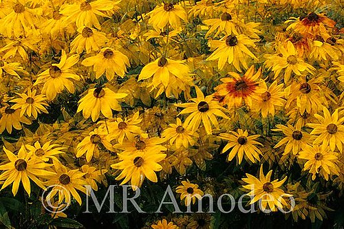 black_eyed_susan_std