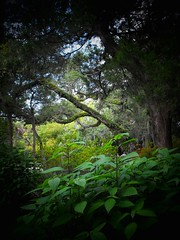 Trees and Leaves- Explore #108 (Chris C. Crowley) Tags: trees fab leaves garden florida scenic explore wilderness daytona primordial portorange treesandleaves sugarmillgardens chriscrowley onlythebestare celticsong22